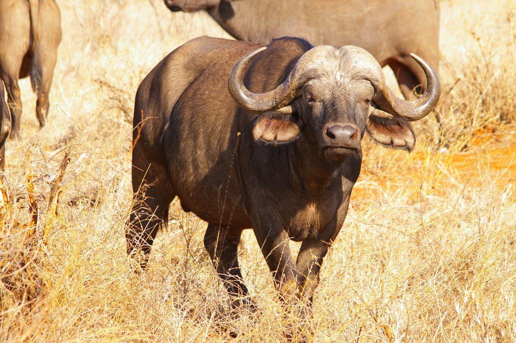 Afrikanischer Büffel - Big Five auf fincanordica.de