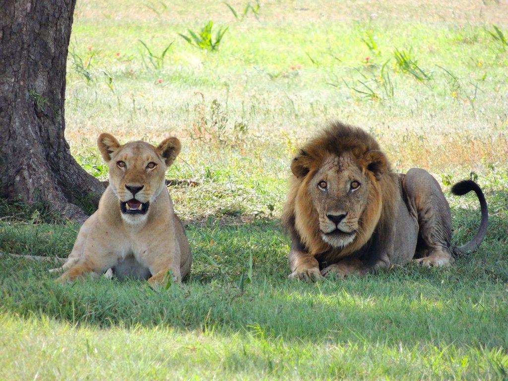 Löwe - Big Five auf fincanordica.de
