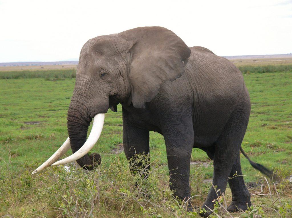 Afrikanischer Elefant - Big Five auf fincanordica.de